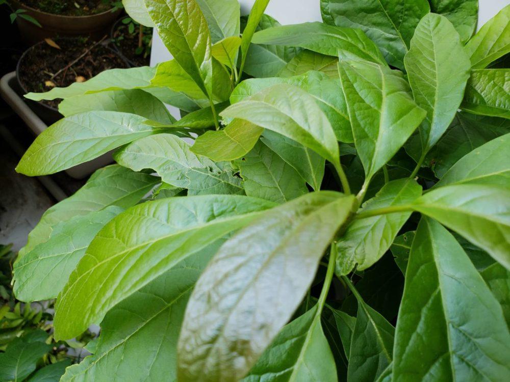 アボガドの葉